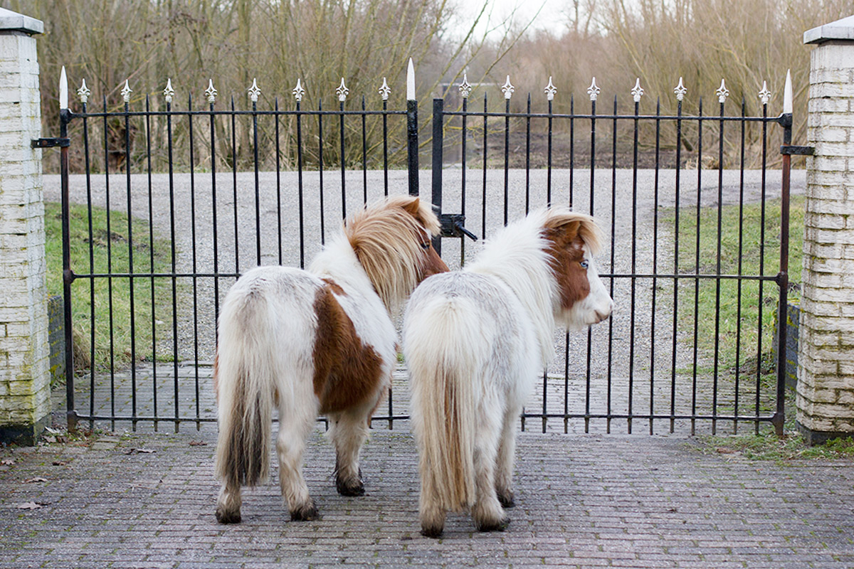 Let's visit the mini horses!